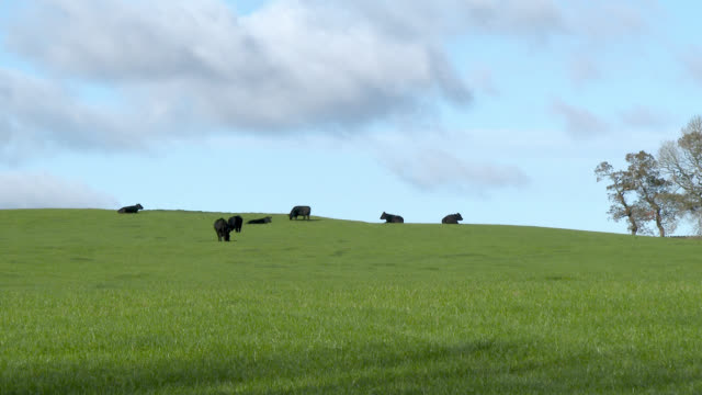 black beef cattle in a field in dumfries and galloway - beef cattle stock videos & royalty-free footage
