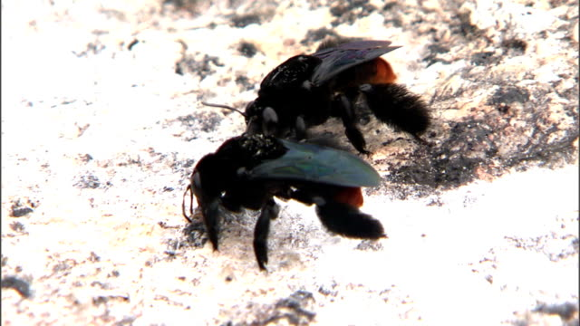 black bees crawl along rocky ground. - gliedmaßen körperteile stock-videos und b-roll-filmmaterial