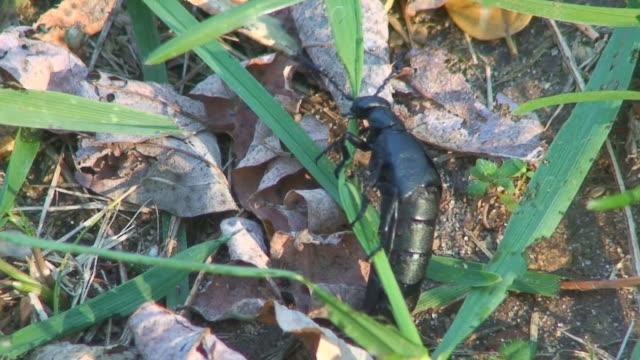 ブラックのカブトムシ食べる草パート 3 - blade of grass点の映像素材/bロール
