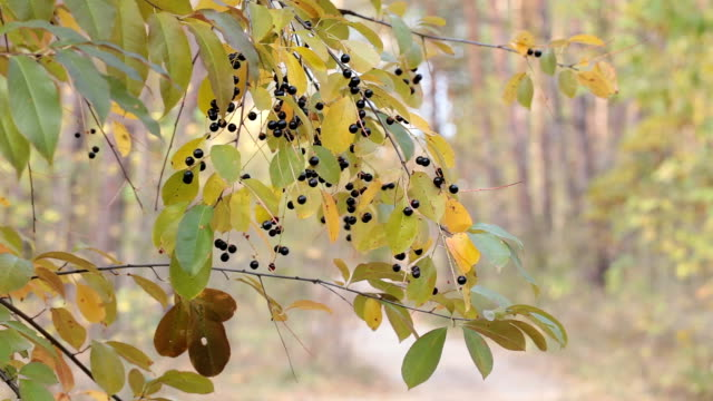 Black berries on the tree in autumn forest.