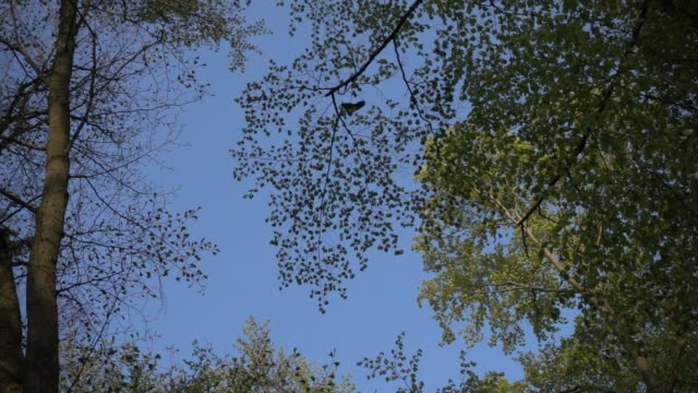 black bird flies over deciduous forest - deciduous stock videos & royalty-free footage
