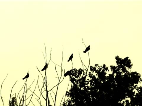 vidéos et rushes de oiseaux noirs et un arbre (pal - membre partie du corps