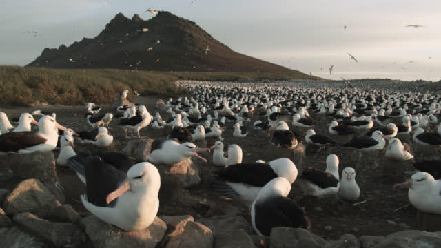 black browed albatross (thalassarche melanophris) nesting colony, falkland islands - bird's nest stock videos & royalty-free footage