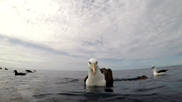 black browed albatross, or mollymauk, in front of the camera, pacific ocean, north island, new zealand. - north pacific ocean stock videos & royalty-free footage