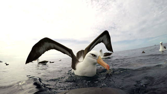 black browed albatross, or mollymauk, in front of the camera with wings spread, pacific ocean, north island, new zealand. - spread wings stock videos & royalty-free footage