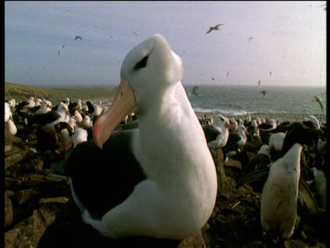 vidéos et rushes de black browed albatross sits on nest, crane up to show colony, beauchene island, falkland isles - colony