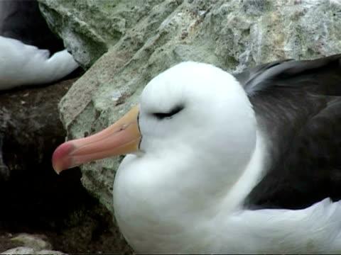 ms black browed albatross, thalassarche melanophrys, head in profile, falkland islands - 大西洋諸島点の映像素材/bロール