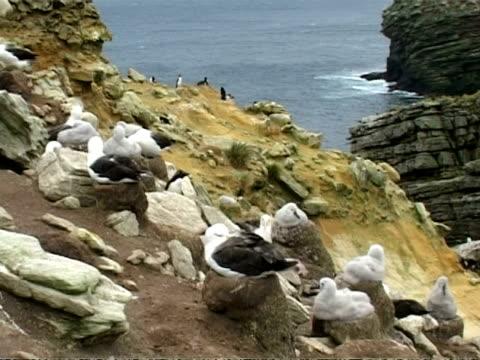 ms black browed albatross, thalassarche melanophrys, nesting on rocky coastal cliff, falkland islands - 大西洋諸島点の映像素材/bロール
