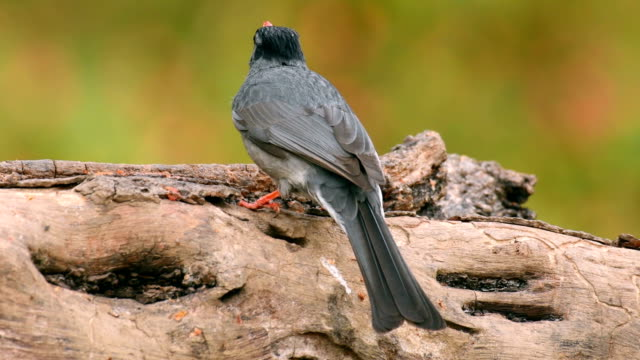black bulbul (hypsipetes leucocephalus) feeding on a tree branch - fruit stock videos & royalty-free footage