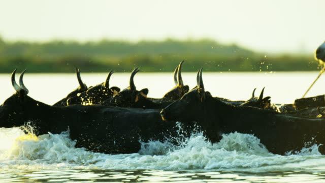 vídeos y material grabado en eventos de stock de black bull running cowboy water camargue animal horse - oficio agrícola