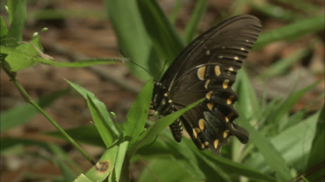 a black butterfly lights on a stem and opens its wings. - gliedmaßen körperteile stock-videos und b-roll-filmmaterial