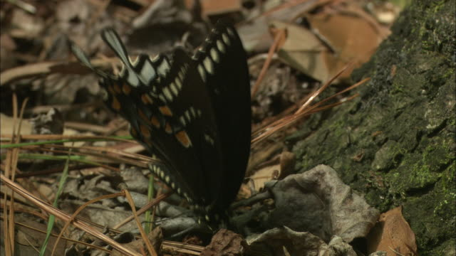 a black butterfly lights on the ground and opens its wings. - okefenokee national wildlife refuge stock videos and b-roll footage