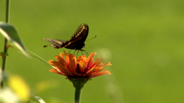 black butterfly on an orange flower - animal antenna stock videos & royalty-free footage