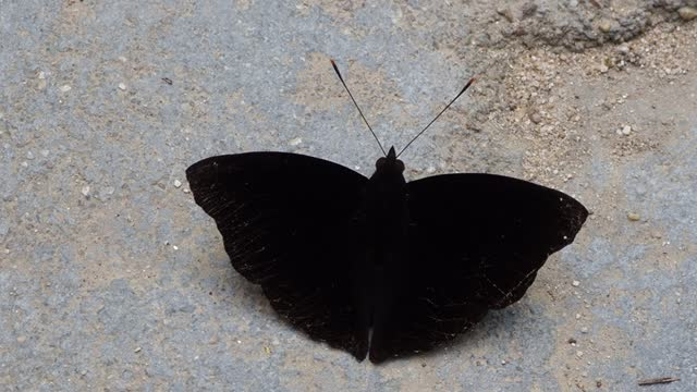 black butterfly on grounds - animal wing stock videos & royalty-free footage