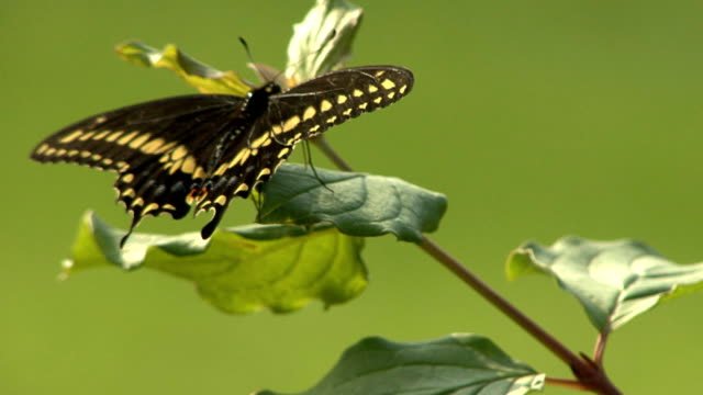 black butterfly perching on a leaf - animal antenna stock videos & royalty-free footage