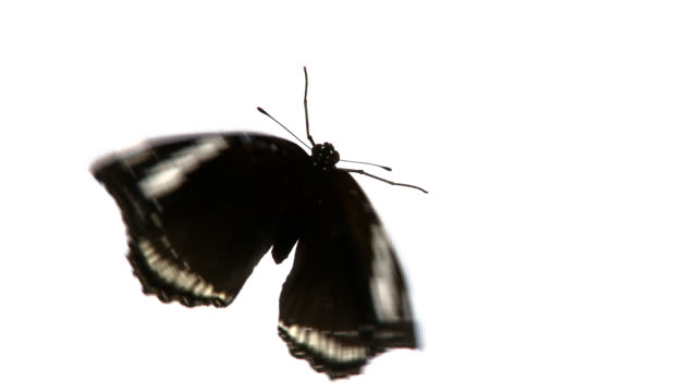 black butterfly. - moth stock videos and b-roll footage