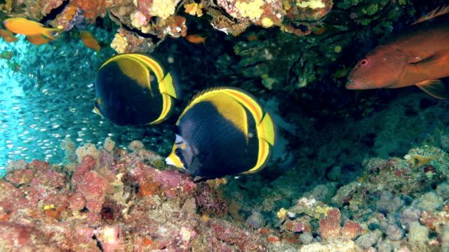 black butterflyfish - butterflyfish stock videos & royalty-free footage