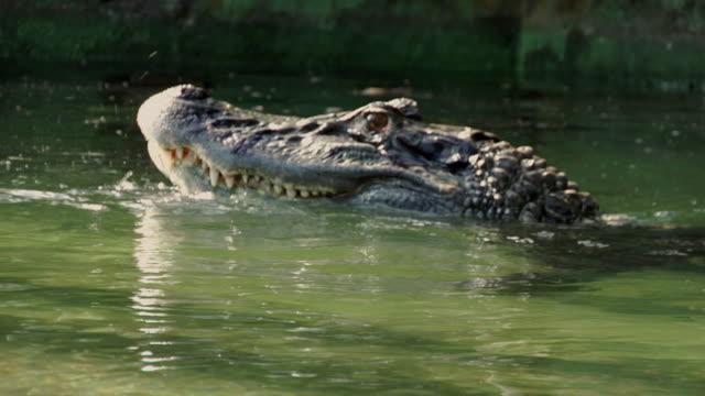 cu black caiman (melanosuchus niger) surfacing in water / manaus, amazonas, brazil - カイマン点の映像素材/bロール