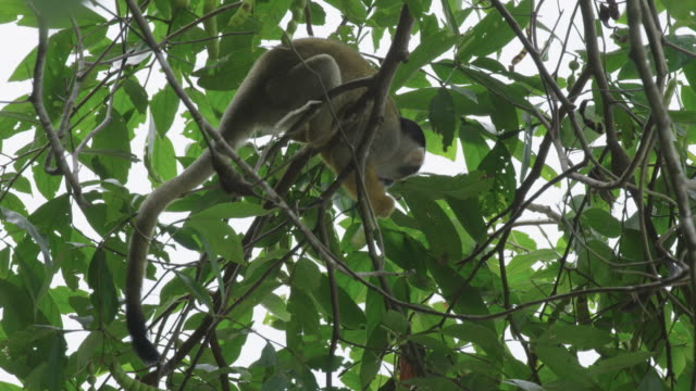 black caped squirrel monkey eating seeds from a pod - plant pod stock videos & royalty-free footage