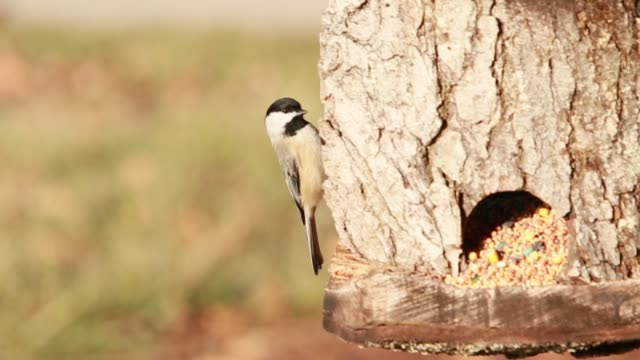 black capped chickadee feeding on a custom built bird feeder. - フレミントン点の映像素材/bロール