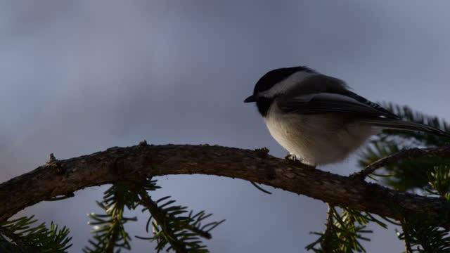 "black capped chickadee in tree, alaska. - ""bbc natural history"" stock videos & royalty-free footage"
