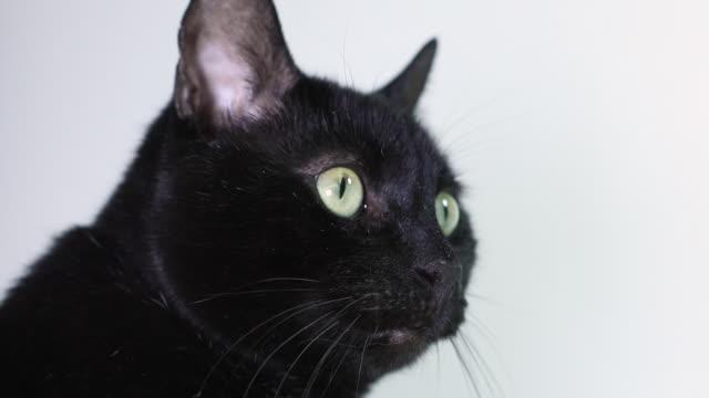 黒猫は白にクローズアップ - 黒猫点の映像素材/bロール