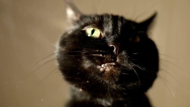 vidéos et rushes de chat noir manger gâteries - mâcher