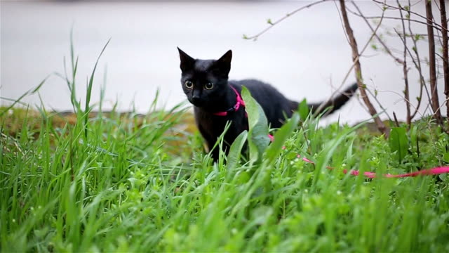 black cat in green grass - lead stock videos & royalty-free footage