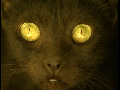 ecu black cat stares, to camera - feline stock videos & royalty-free footage