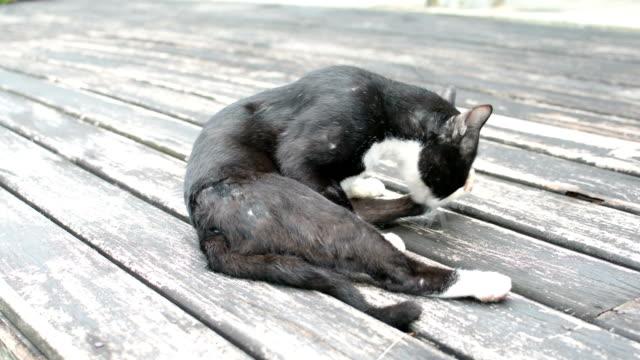 ブラックの猫 - 雑種のネコ点の映像素材/bロール