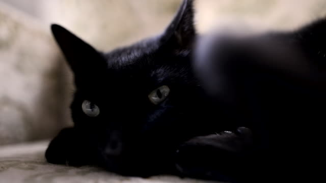 Black cat waking up.