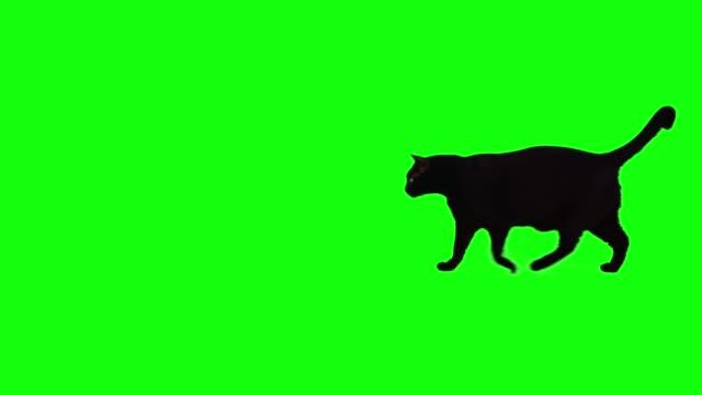 クロマキーの背景を歩く黒猫 - 黒猫点の映像素材/bロール