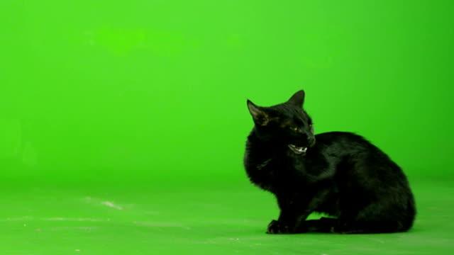 Black Cat Walking On Green Screen . Slow Motion .