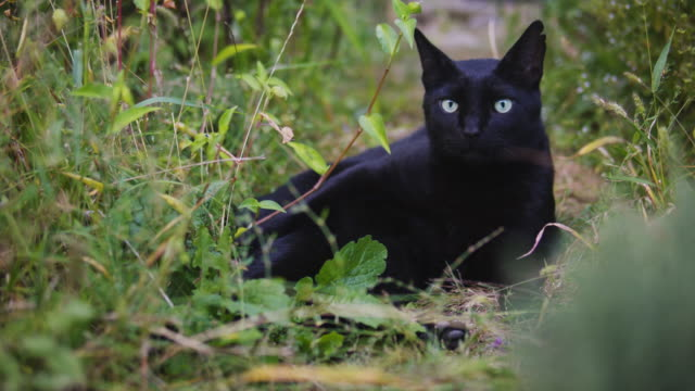 black cat with green eyes in garden. - green eyes stock videos and b-roll footage