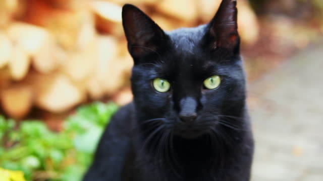 Black cat with green eyes.