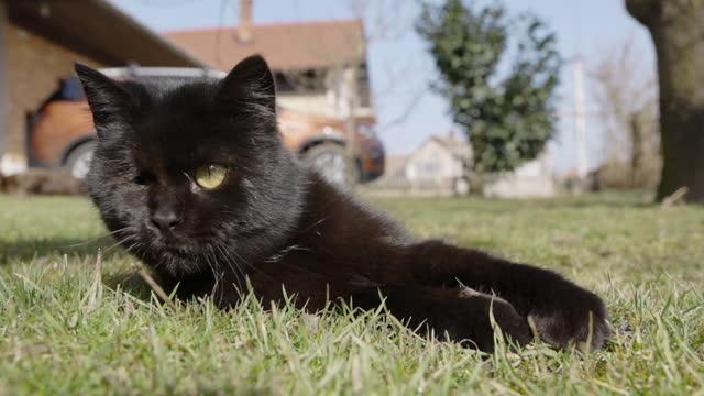 片目が草の上に横たわっている黒猫 - ショートヘア種の猫点の映像素材/bロール