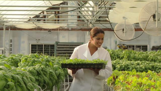 vídeos y material grabado en eventos de stock de black chef carrying tray of micro greens in hydroponic greenhouse - cabello recogido