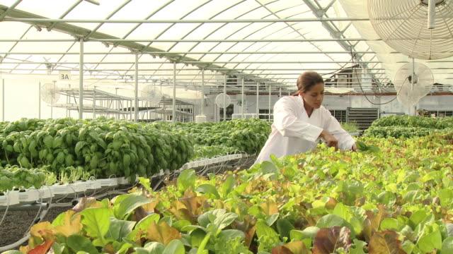 vídeos y material grabado en eventos de stock de black chef cutting greens in hydroponic greenhouse - cabello recogido