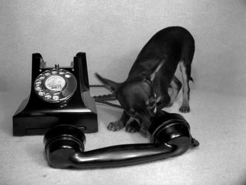 black chihuahua licks the mouthpiece of a bakelite telephone on a table. - cagnolino da salotto video stock e b–roll