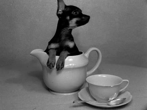 black chihuahua sits in a china milk jug next to a cup and saucer and looks around. - jug stock videos & royalty-free footage