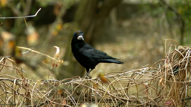 black city crow in autumn - crow stock videos & royalty-free footage