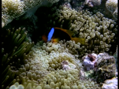 ms black clownfish, amphiprion melanopus, sheltering in patch of anemones, australia - aquatic organism stock videos & royalty-free footage