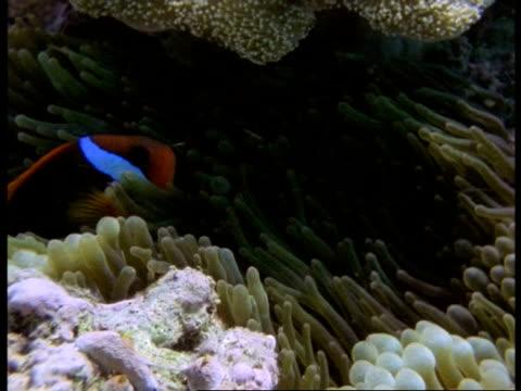 ms black clownfish, amphiprion melanopus, sheltering in patch of anemones, australia - 共生関係点の映像素材/bロール
