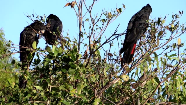 black cockatoos eating - black colour stock videos & royalty-free footage