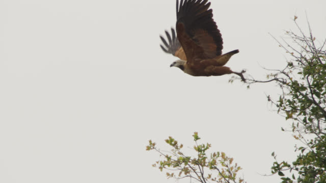 black collared hawk (busarellus nigricollis) takes off from tree and tries to grab fish from water. - hawk bird stock videos & royalty-free footage