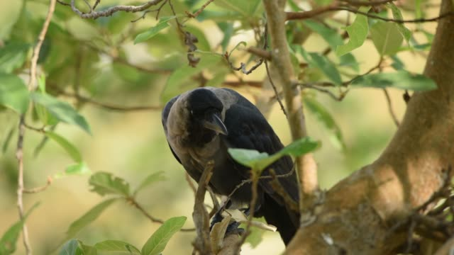 a black common crow bird on tree branch. - raven stock videos & royalty-free footage