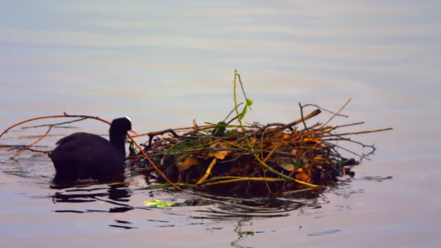 black coot building a nest on water - bird's nest stock videos & royalty-free footage