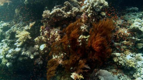 vídeos de stock e filmes b-roll de recife de coral negro mar vermelho - coral macio