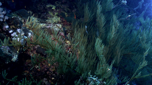 vídeos de stock e filmes b-roll de coral negro mar vermelho - coral macio