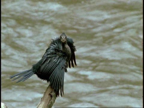 vidéos et rushes de ms black cormorant on branch above dirty water, western ghats, india - se lisser les plumes
